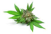Macro of Medical Marijuana Bud or Hemp Flower with Leaves Isolated on White Background