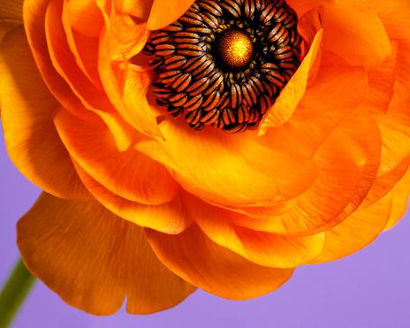 Macro of orange ranunculus on lavender background - gettyimageskorea