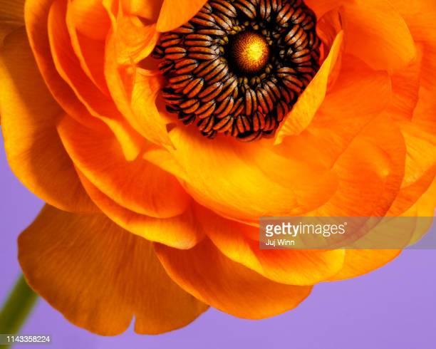 macro of orange ranunculus on lavender background - lavender color ストックフォトと画像