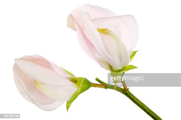 マクロ Sweetpea のピンクの花の背景に白色