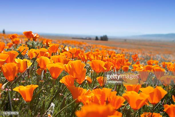 macro of poppy field - california golden poppy stock pictures, royalty-free photos & images
