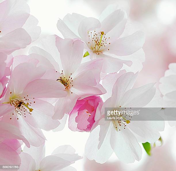Macro of sour Cherry tree pink & white flowers