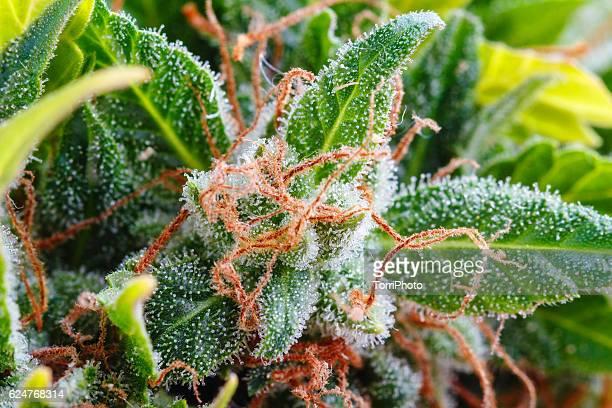 macro of trichomes on marijuana - marijuana herbal cannabis stock photos and pictures