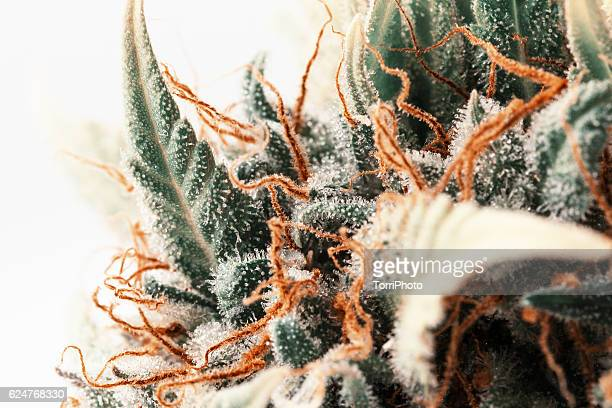 Macro of trichomes on marijuana