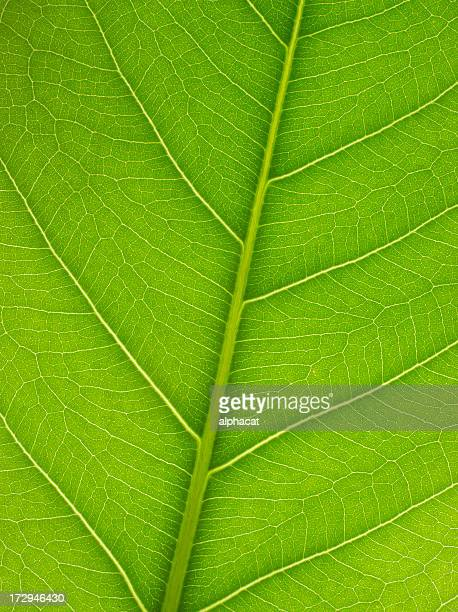 A macro of veins on a green leaf
