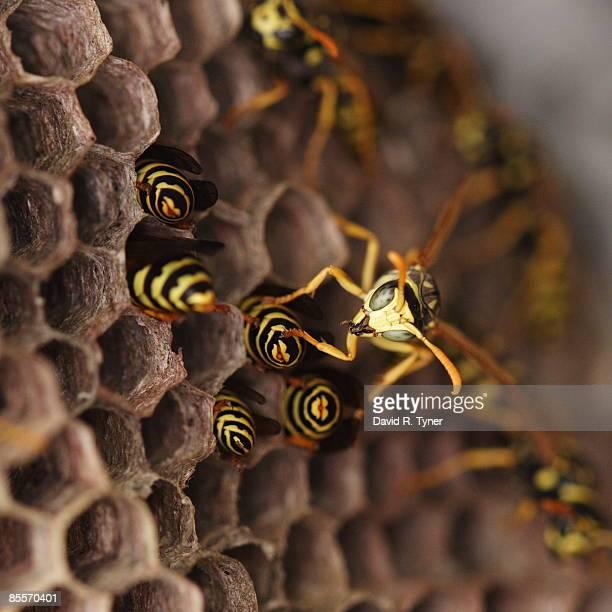macro of wasp in nest - nido di vespe foto e immagini stock