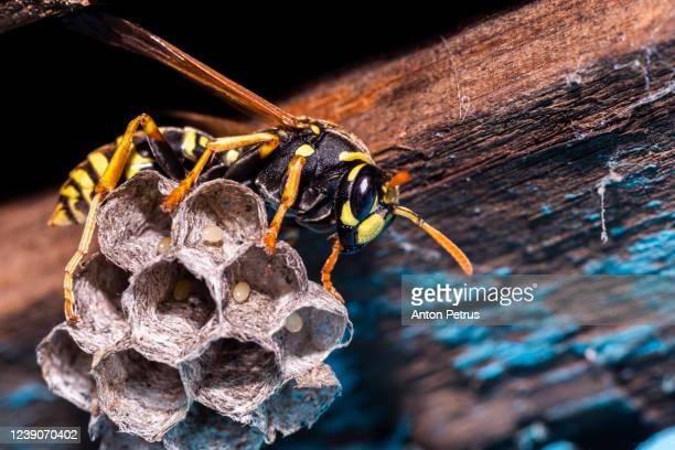 macro of wasp (vespula vulgaris) sitting on nest - paper wasp stock pictures, royalty-free photos & images