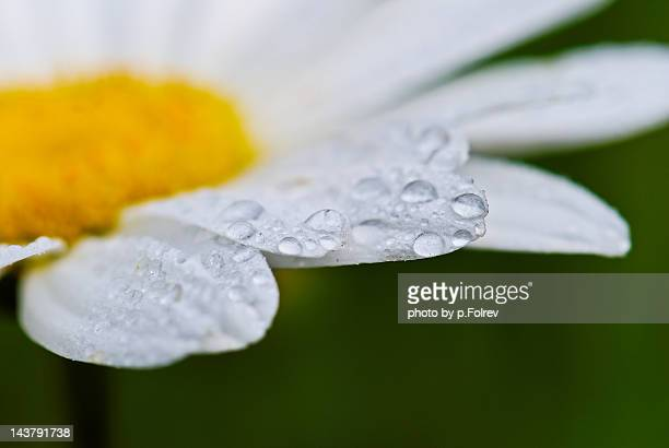 Macro of white daisy flower with droplets