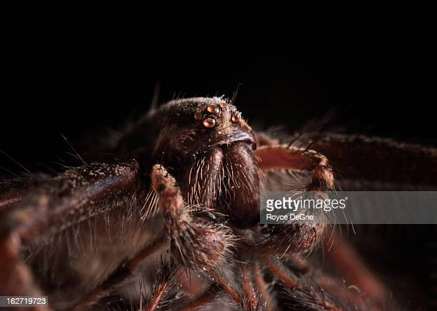 macro photo of a spider - ugly spiders stock photos and pictures