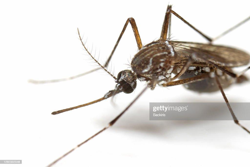Macro Photo of Yellow Fever Mosquito Isolated on White Background : Stock Photo