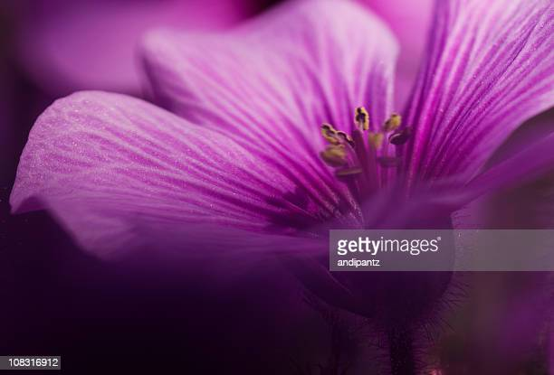 Macro photograph of a magenta flower in bloom