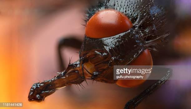macro photos of house fly red eyes - 蚊 ストックフォトと画像
