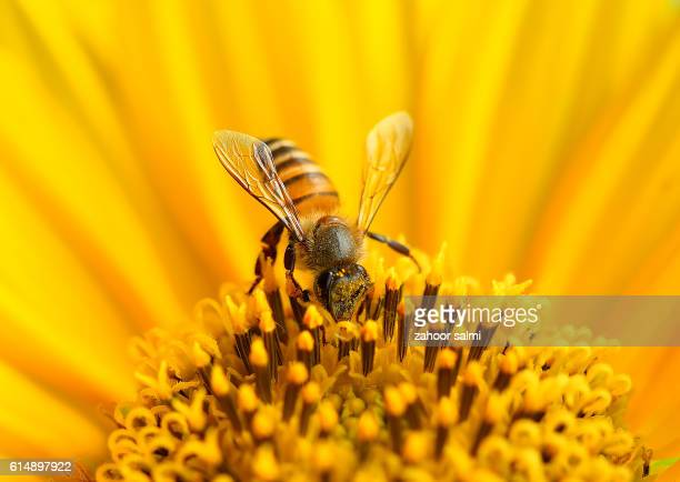 macro - honey bee stock pictures, royalty-free photos & images