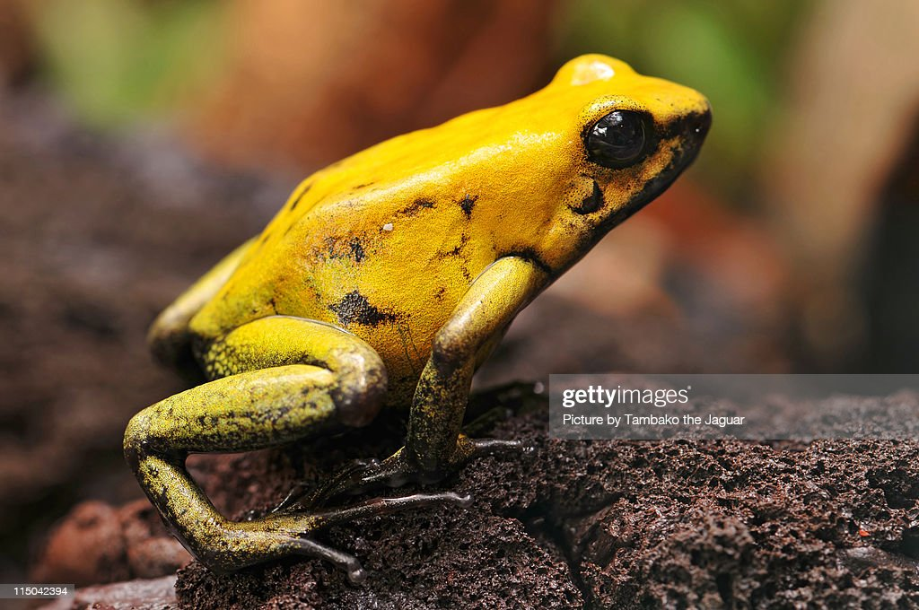 Macro picture of golden poison dart frog : Foto de stock