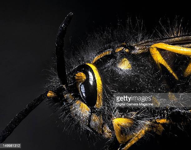 Macro portrait of a European wasp, taken on December 15, 2011.
