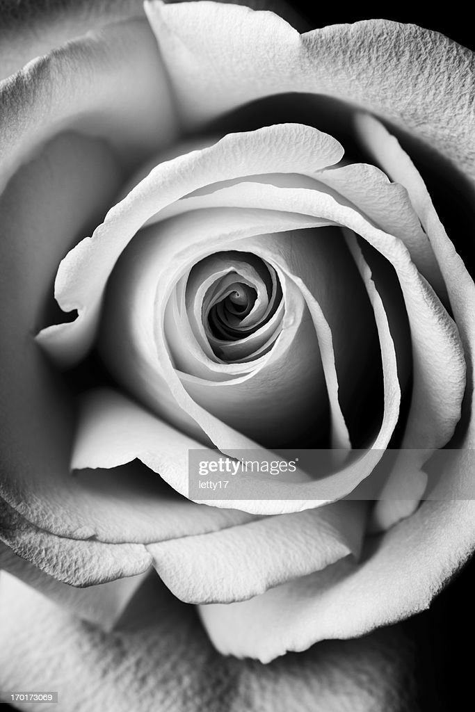 macro rose flower : Stock Photo