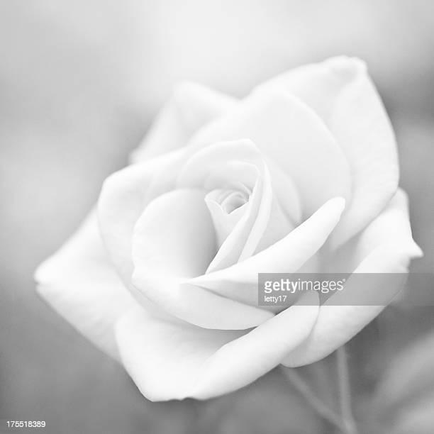 macro fleur de rose