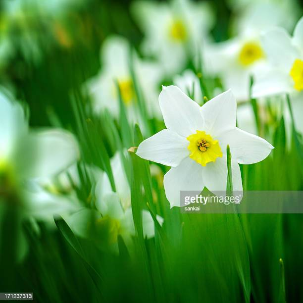 macro shot, field of white daffodils. narcissus 'orangery' cultivar. - daffodils stock photos and pictures