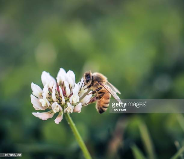 a macro shot of a bee on a white flower - bees on flowers stock pictures, royalty-free photos & images