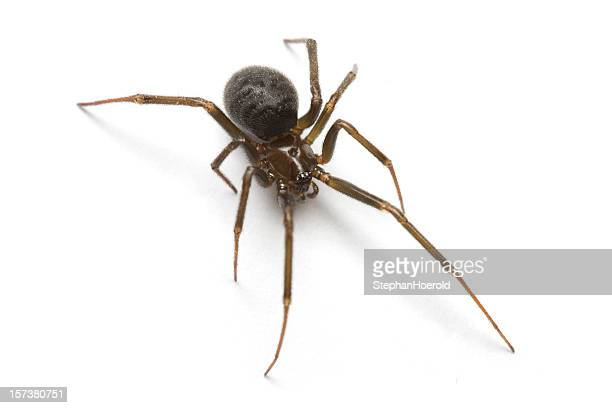 macro shot of a black widow, isolated on white background - spider stock pictures, royalty-free photos & images