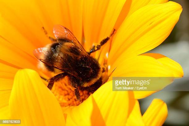 Macro Shot Of Bee Pollinating On Yellow Flower