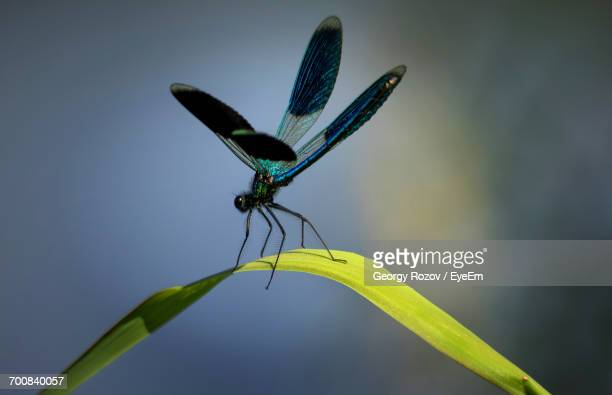 Macro Shot Of Blue Dragonfly Perching On Grass