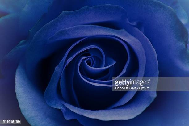 Macro shot of blue rose