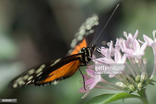 Macro Shot Of Butterfly Pollinating On Pink Flower