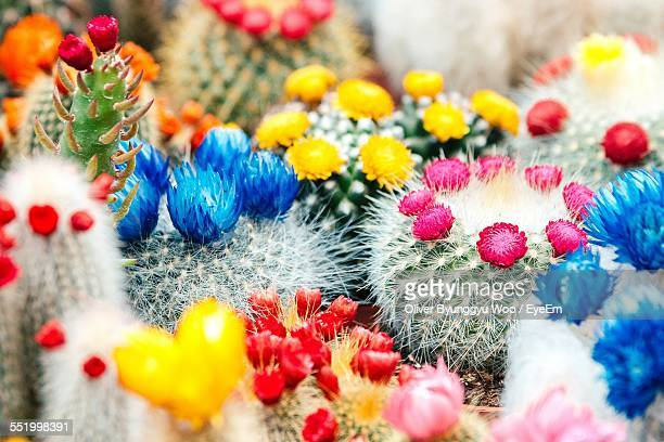 Macro Shot Of Colorful Cactus Flowers