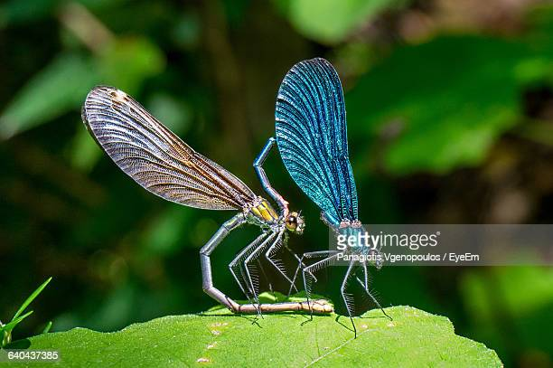 macro shot of damselflies mating on leaf - vgenopoulos stock pictures, royalty-free photos & images