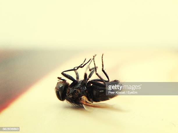 Macro Shot Of Dead Housefly