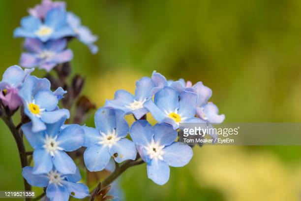 macro shot of field forget me nots in bloom. - forget me not stock pictures, royalty-free photos & images