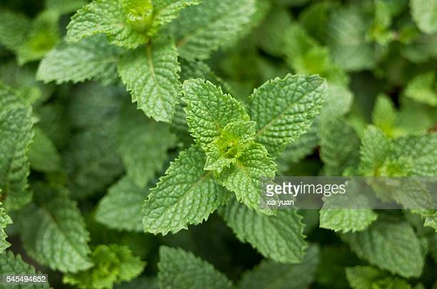 Macro shot of fresh mint leaves