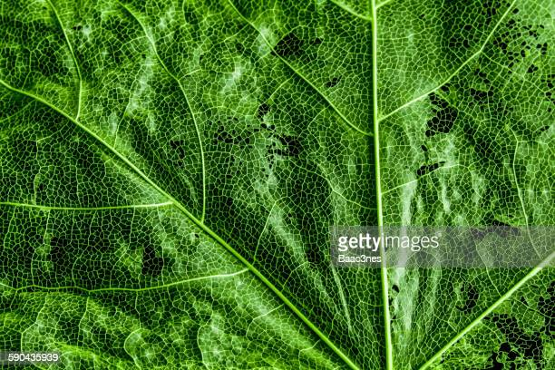 Macro Shot Of Green Maple Leaf