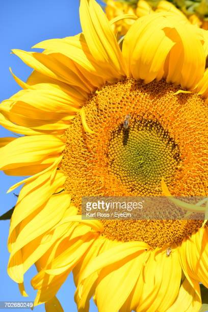 macro shot of honey bee on sunflower - honey ross stock pictures, royalty-free photos & images