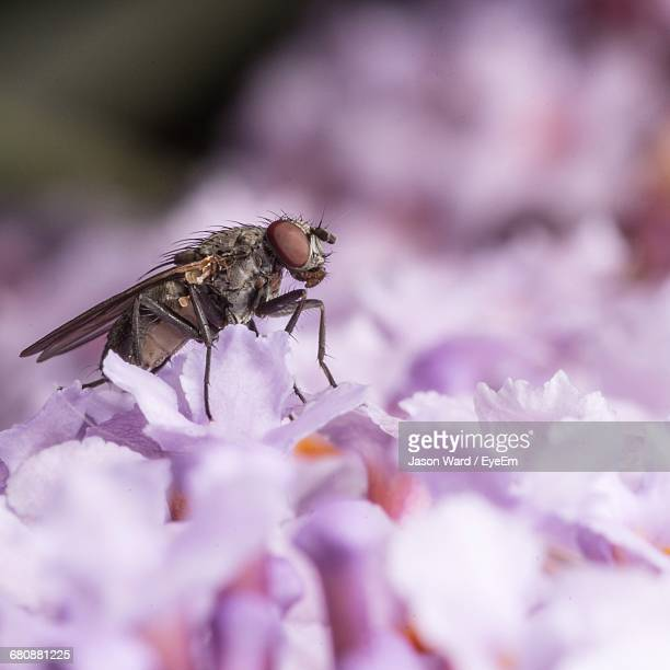 macro shot of housefly on purple flower - housefly stock pictures, royalty-free photos & images