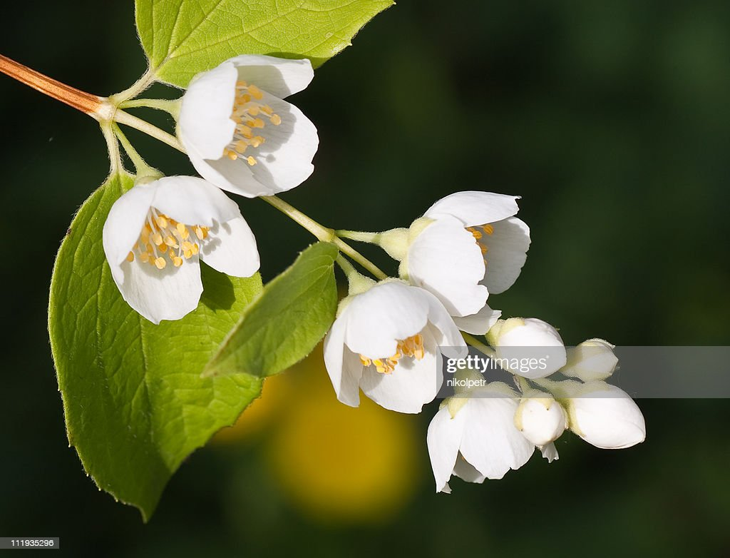 Macro Shot Of Jasmine Flower Stock Photo Getty Images