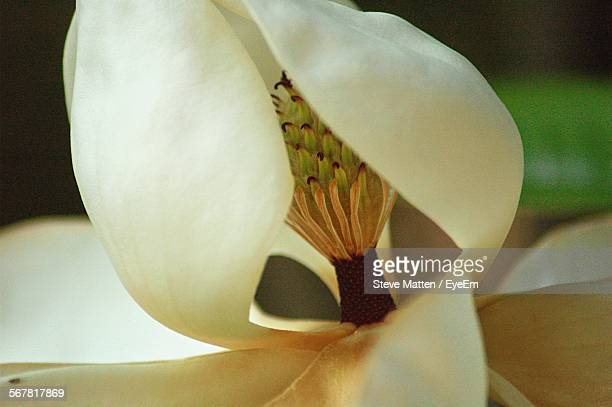 macro shot of magnolia blooming outdoors - steve matten stock pictures, royalty-free photos & images