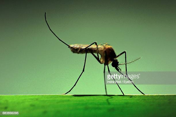 macro shot of mosquito - mosquito stock photos and pictures