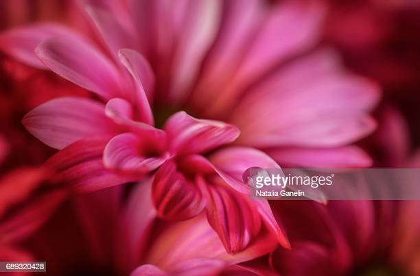 Macro shot of pink chrysanthemum