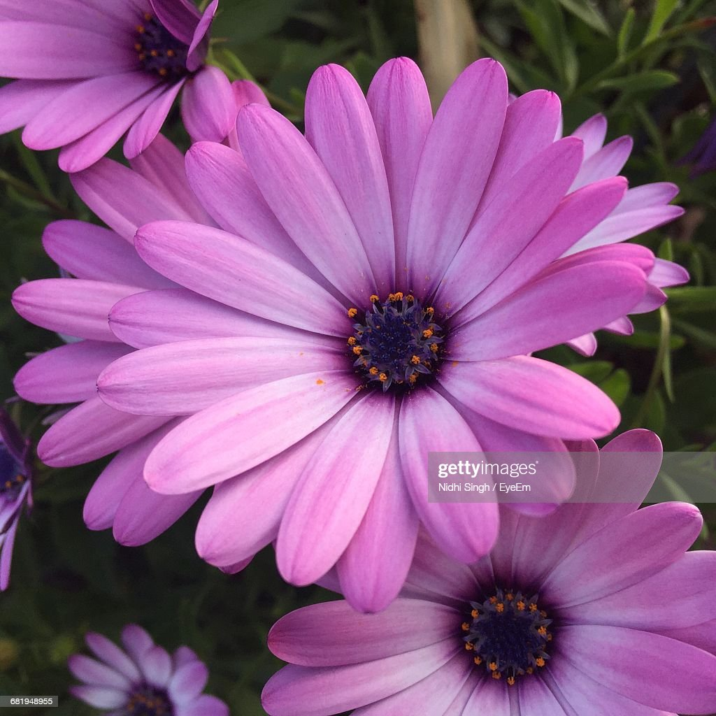 Macro Shot Of Pink Daisy Flower Stock Photo Getty Images