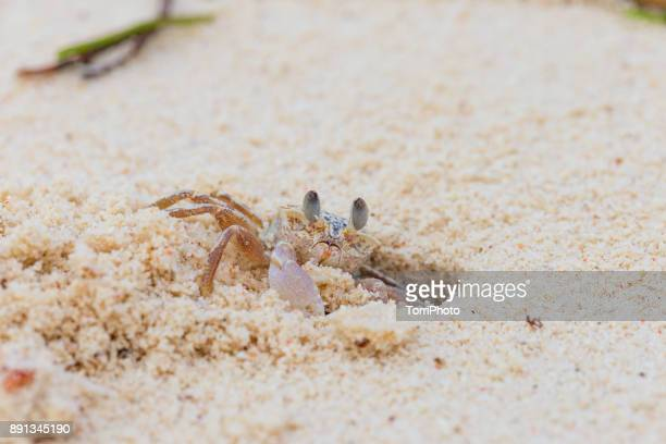 Macro shot of small white crab makes the hole in sand