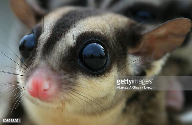 macro shot of sugar glider - sugar glider stock photos and pictures