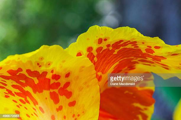macro shot of the petals of a canna lily - canna lily stock pictures, royalty-free photos & images