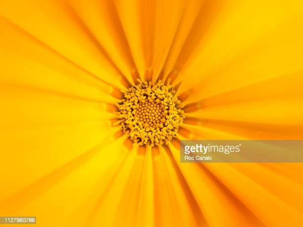 macro shot of yellow flower - pops of bright color stock pictures, royalty-free photos & images