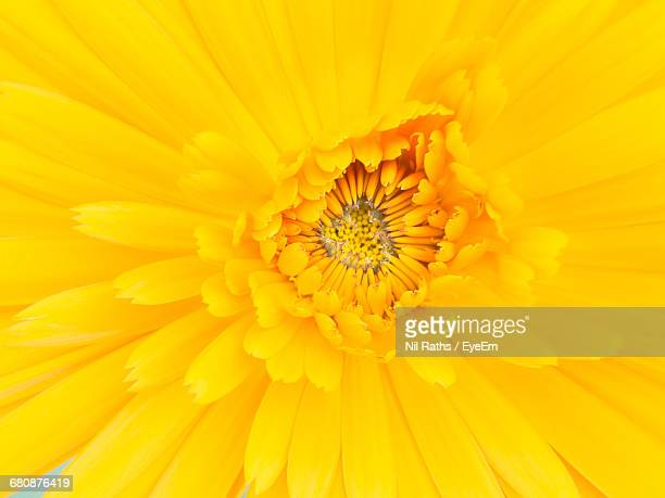 macro shot of yellow flower - yellow photos et images de collection