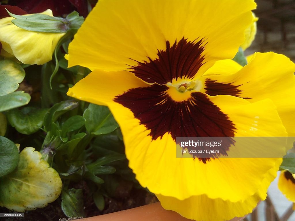 Macro Shot Of Yellow Pansy Flower Stock Photo Getty Images
