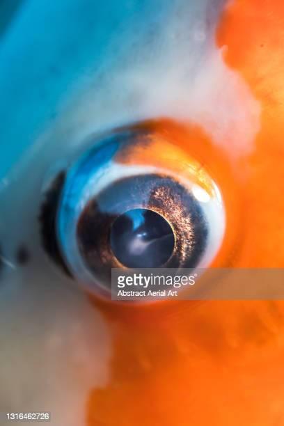 macro shot showing majestic colours surrounding a koi carp eye, oxfordshire, england, united kingdom - animal eye stock pictures, royalty-free photos & images