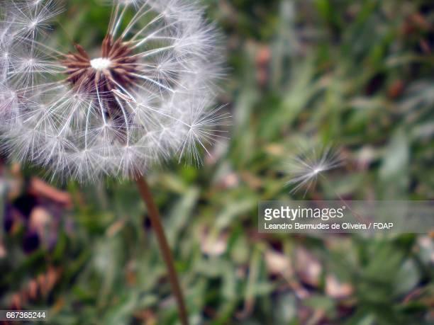Macro shots of dandelion