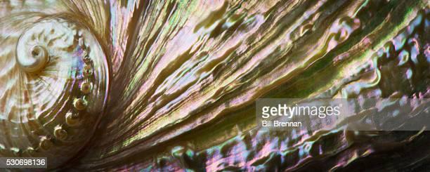 Macro studio shot of an iridescent abalone shell
